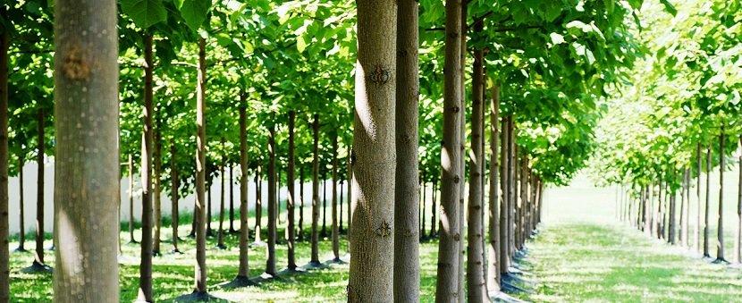 Ilustracija: Paulovnija drvo, foto: http://www.paulovnija.info/