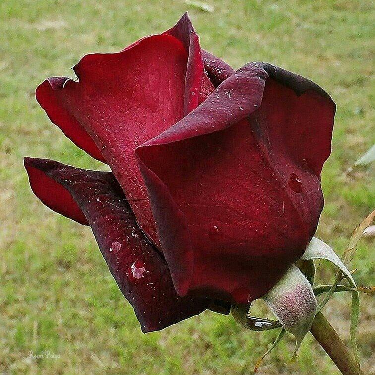 Ilustarcija: ruža