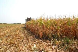 Ilustracija: Berba kukuruza, foto: S.K