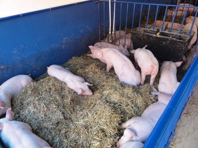 Ilustracija: farma svinja