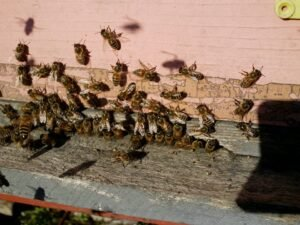 Ilustracija: pčele izvan košnice, foto: Domaćinska kuća