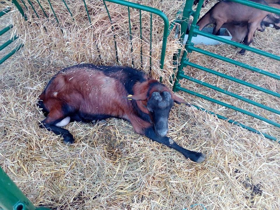 Ilustracija: izložba koza na sajmu u Novom Sadu, foto: Domaćinska kuća