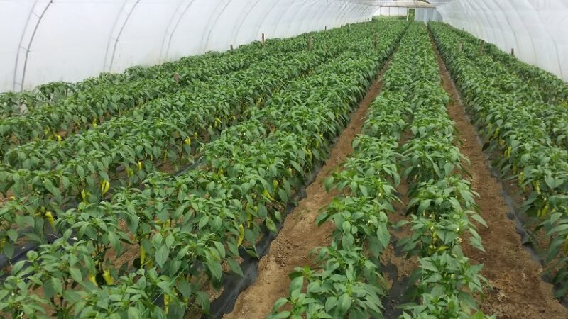 Kako suša utiče na papriku