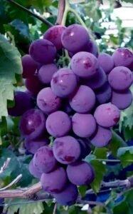 Ilustracija. grozd, foto, Domaćinska kuća