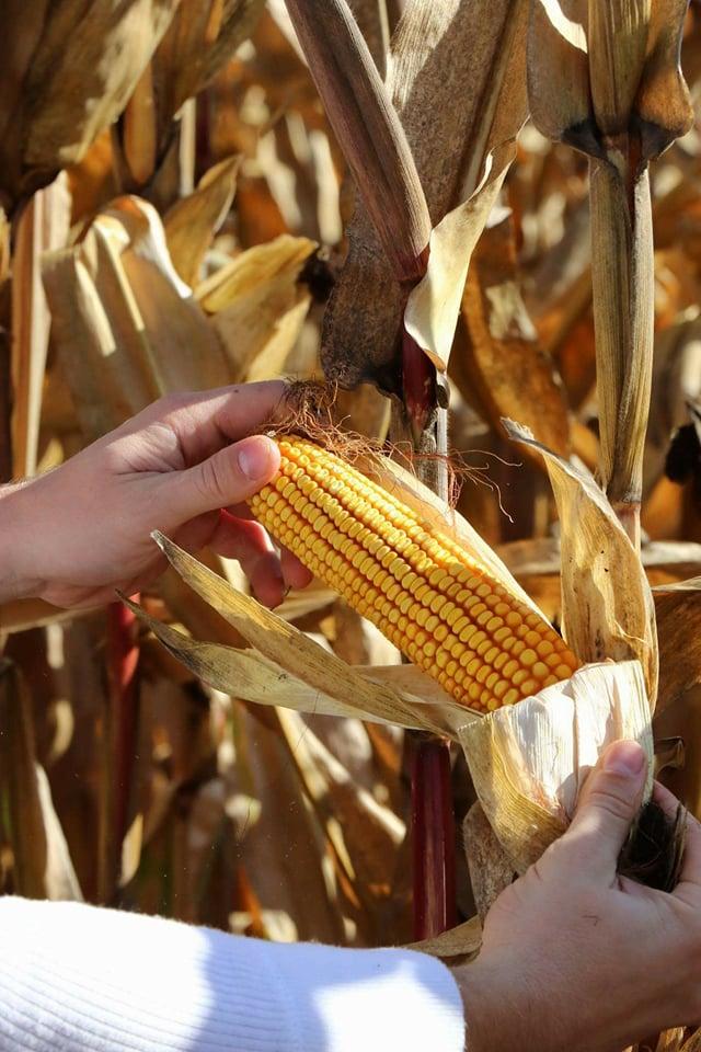 Ilustracija: Berba kukuruza, foto: Domaćinska kuća