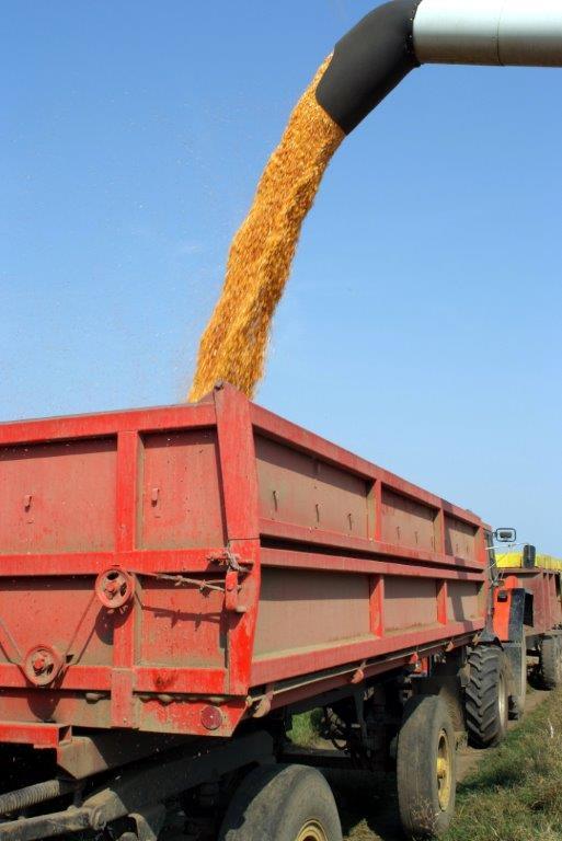 Ilustracija. Berba kukuruza