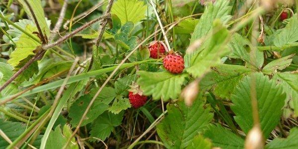 Ilustracija: šumske jagode, foto: http://www.milosdjajic.com/
