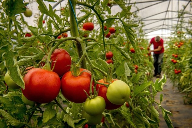 Ilustracija: plastenička proizvodnja paradajza, foto: https://www.nature.com
