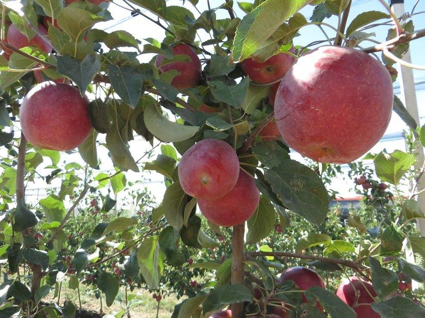 Ilustracija: rod jabuke