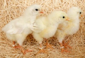 Ilustracija: pilići, foto: http://www.chickensforbackyards.com