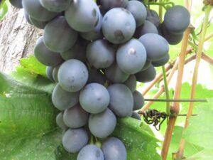Ilustracija. crno stono grožđe. foto. S.K.