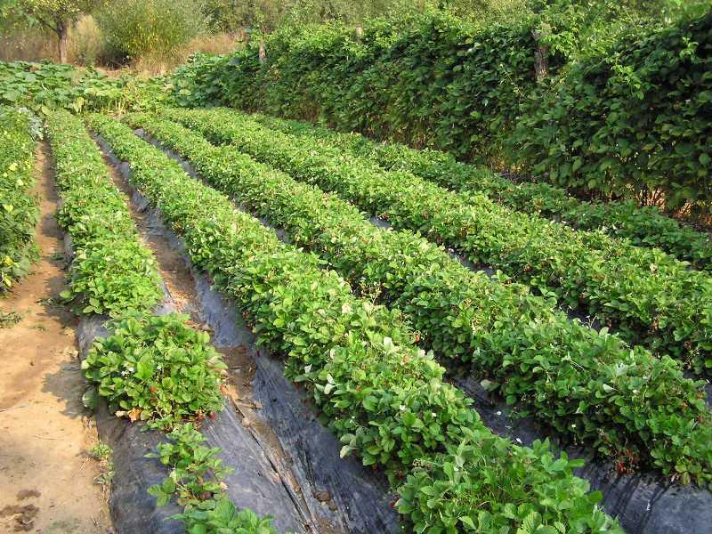 Ilustracija: plantaža šumske jagode, foto: floriva.com