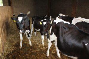 Ilustracija:farma krava, foto. S.K.