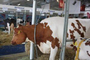 Ilustracija: farma krave, foto: S.K.