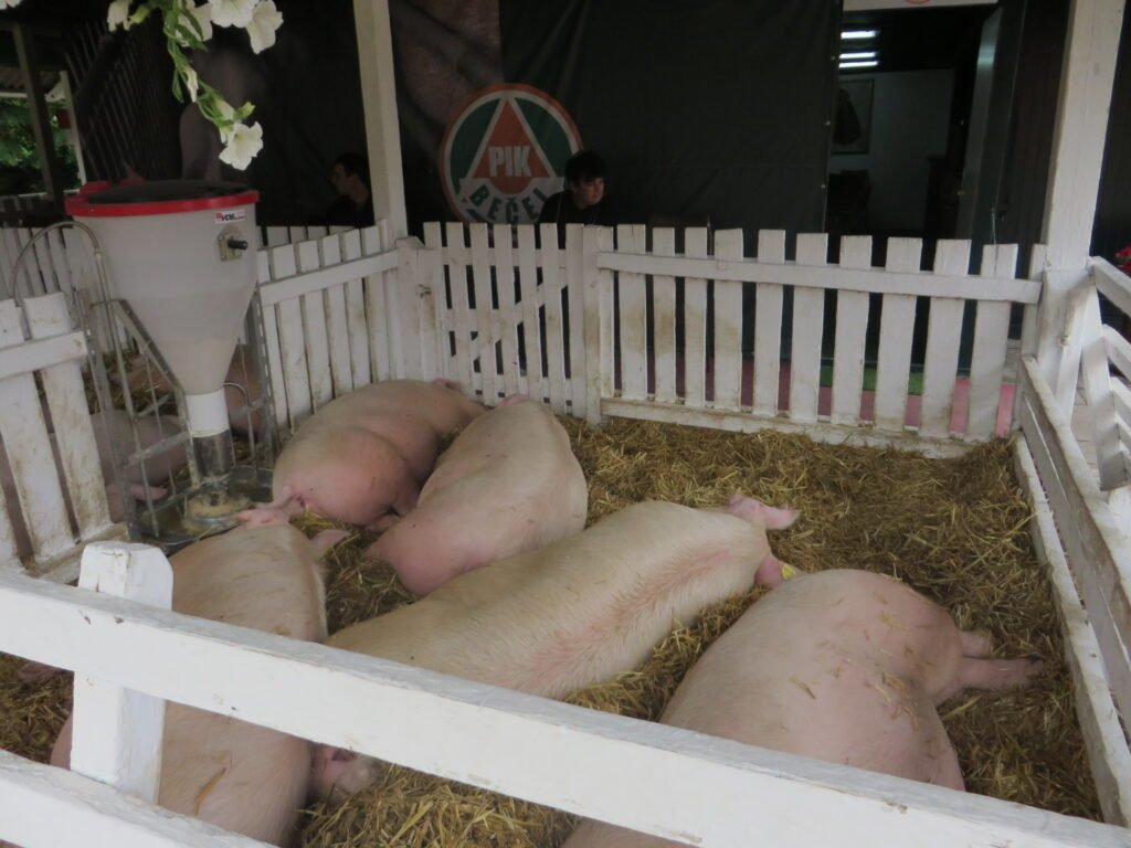 Ilustraci: farma svinja