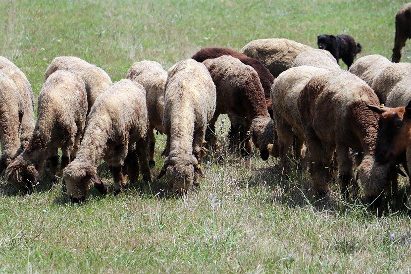 Ilustracija: stado ovaca, foto: Domaćinska kuća