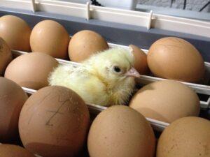 Ilustracija: jaja za inkubaciju, foto: https://dom-krolika.ru/