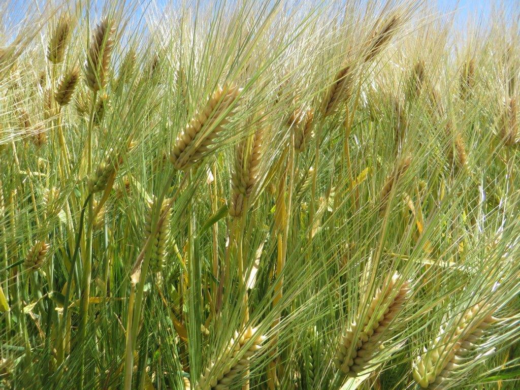 Ilustracija: polje pšenice