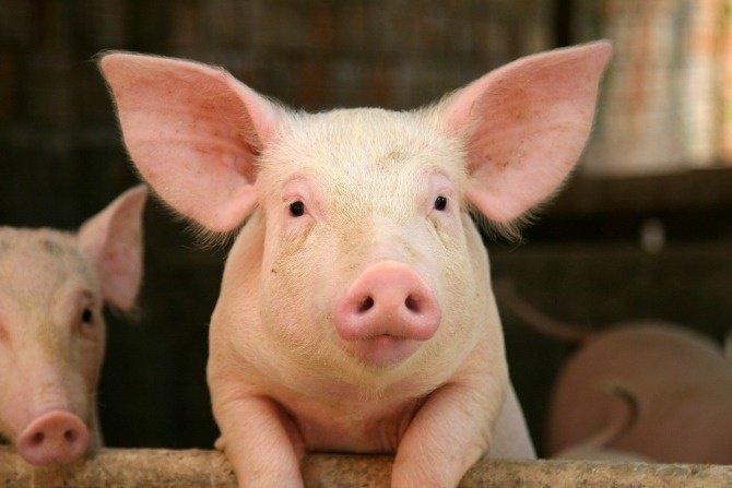 Ilustracija. svinje