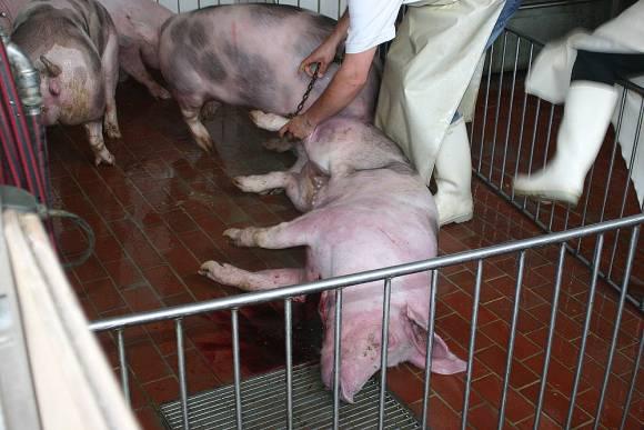 Ilustracija: klanje svinja
