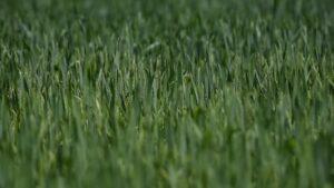 Ilustracija: polje pšenice, foto: S.K.