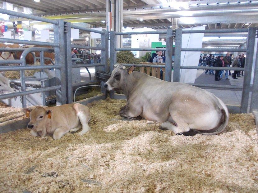 Ilustracija; izložba stoke u Veroni, foto: S,K.