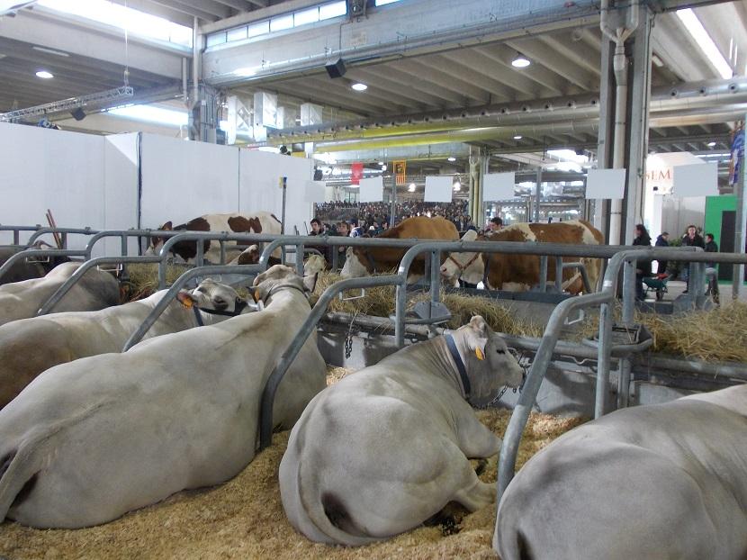 Ilustracija: Izložba stoke u Veroni,foto: S,K.