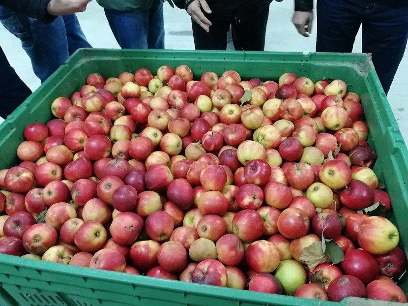 Ilustracija: Skladištenje jabuka, foto: S,K.