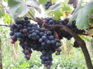 Ilustracija: crno groždje
