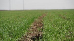 Ilustracija: Strna žita, foto: ns seme