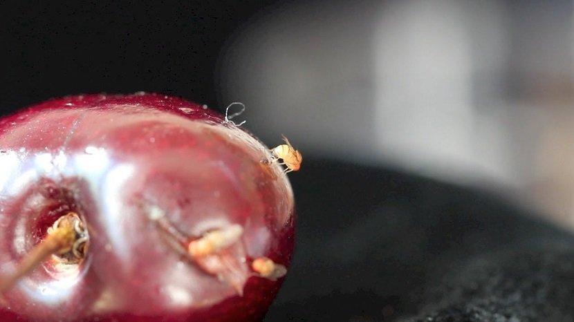 Ilustracija: afrička mušica,