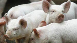 Ilustracija. Farma svinja, foto: https://qzprod.files.wordpress.com