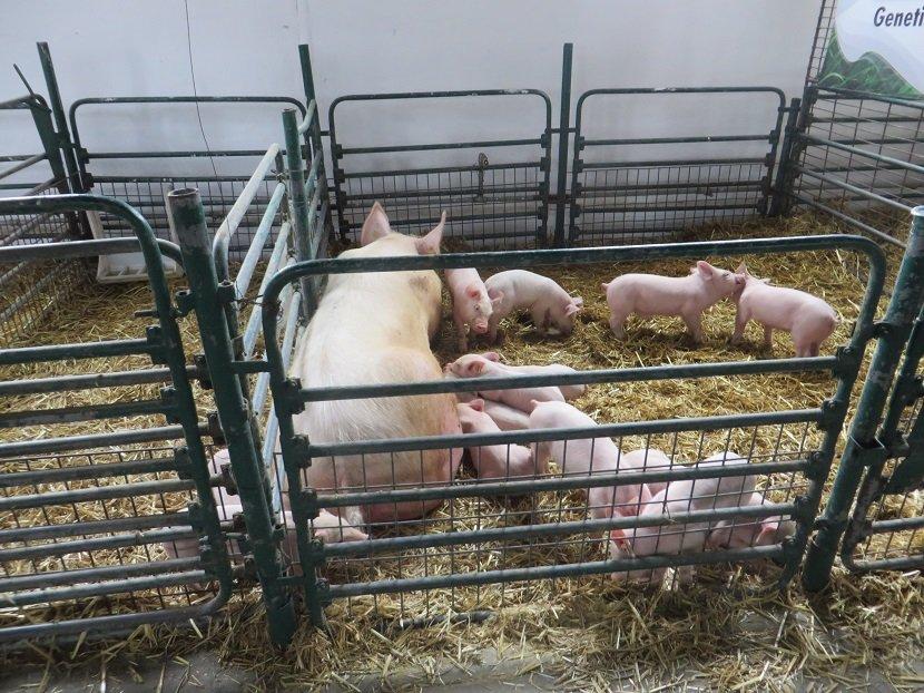 Ilustracija: Tor sa svinjama: Foto: S.K.