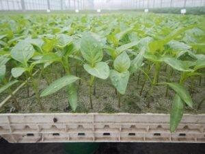 Ilustracija: rasad paprike, foto: http://growrasad.rs/