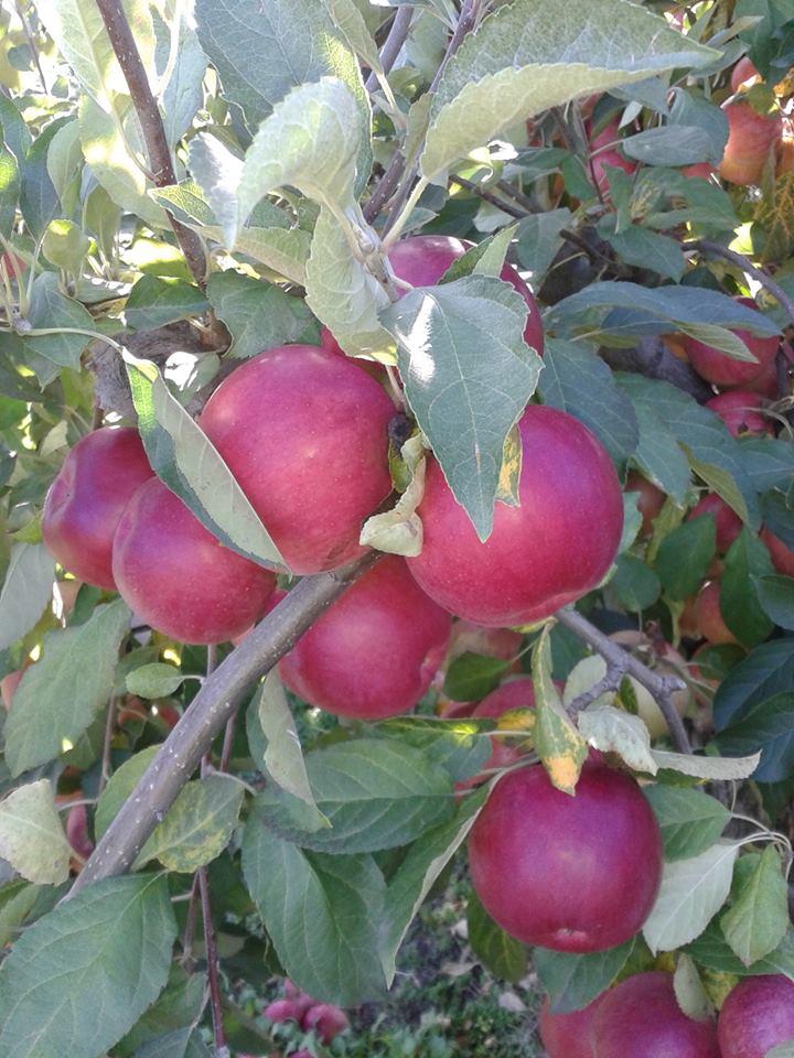 Ilustracija: Jabuke pred branje, foto: R.C.
