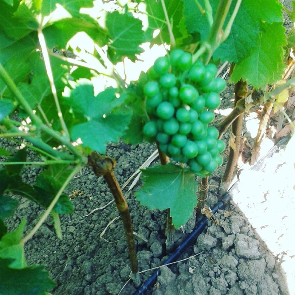 Ilustracija: grožđe, foto: S.K.