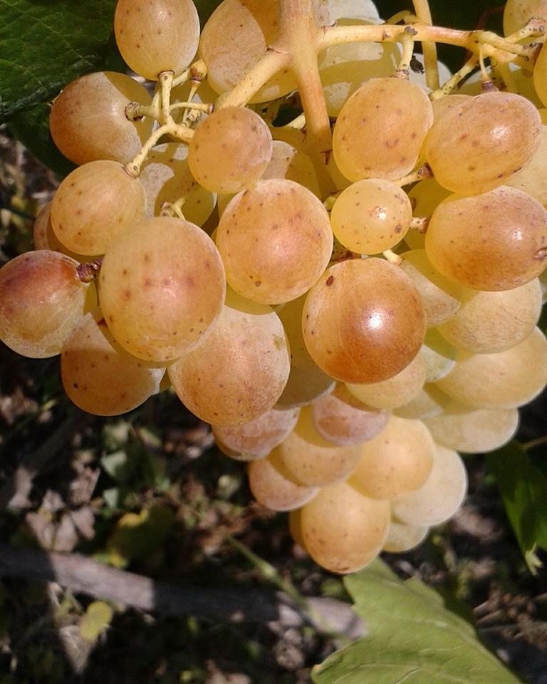 Ilustracija: Bele sorte grožđa, foto: S.K.