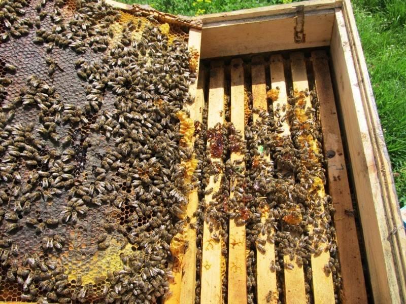 Ilustracija: pčele, foto: S.J.