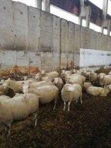 cija: farma ovaca, foto: S.K.
