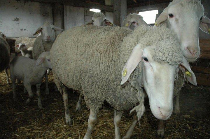 Ilustracija: farma ovaca porodice Pivić