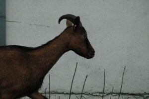 Ilustracija: koza, foto: Domaćinska kuća