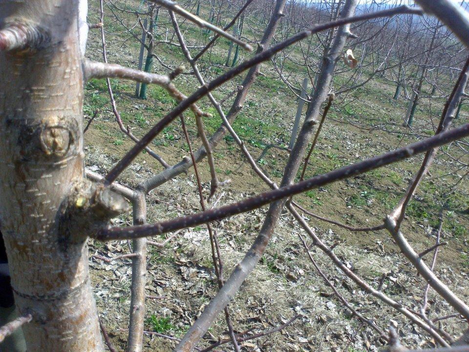 Ilustracija: zasad jabuke, foto: R.C,