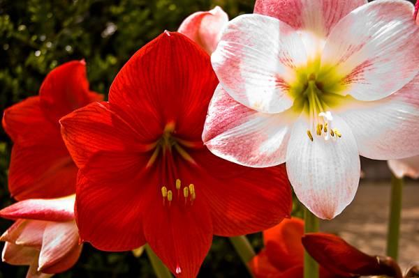 Ilustracija: Amarilis, foto: http://saznajlako.com/
