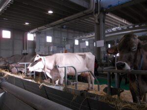 Ilustracija: Izložba stoke sa sajma u Veroni, foto: S,K.