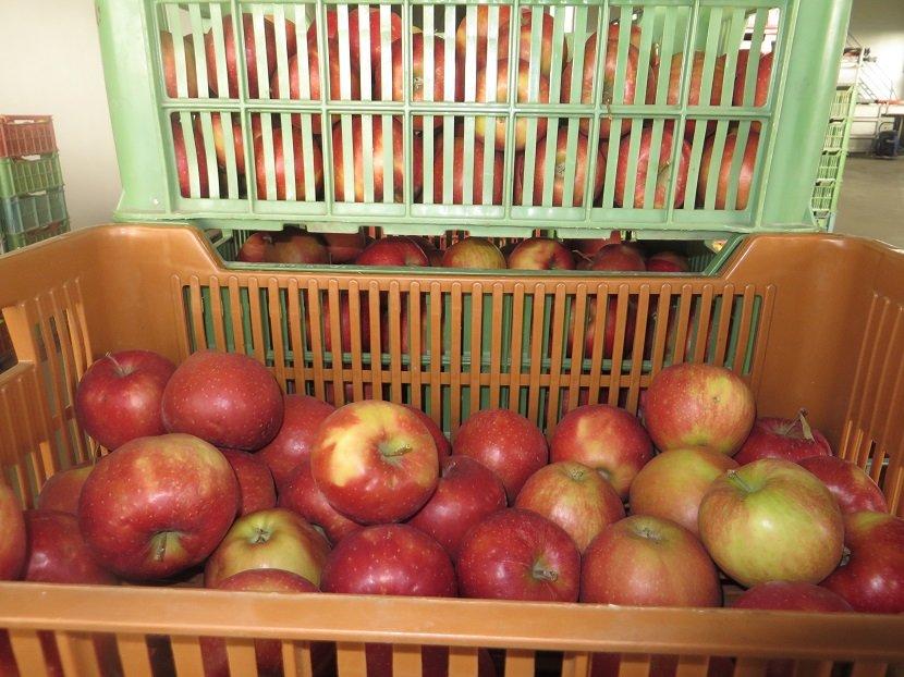 Ilustracija: čuvanje jabuka, foto: S,K.