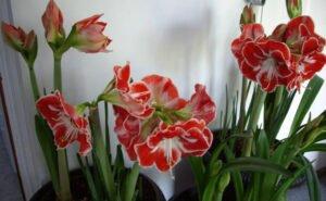 Ilustracija: Kameni cvet, foto: http://cvecarstvo.com/