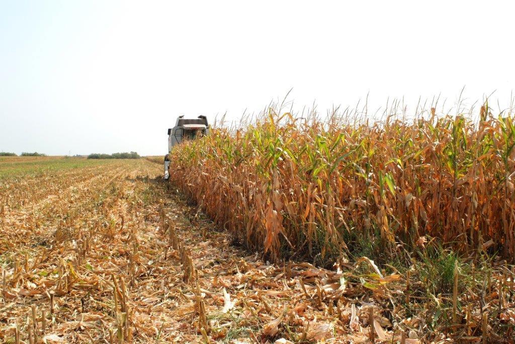 Ilustracija: kukuruzovina, foto: S.K