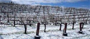 Ilustracija: vinograd zimi, foto: Agrosmart