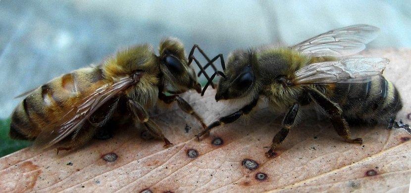 Ilustracija; pčele, varoa, foto: http://www.bhpcelar.com