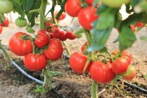 Ilustracija: paradajz roker, Superior